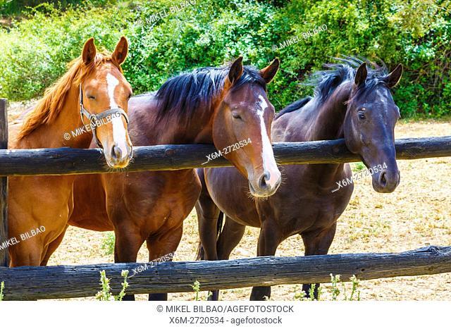 Horses on a farm. Dicastillo. Estella comarca, Navarre. Spain, Europe