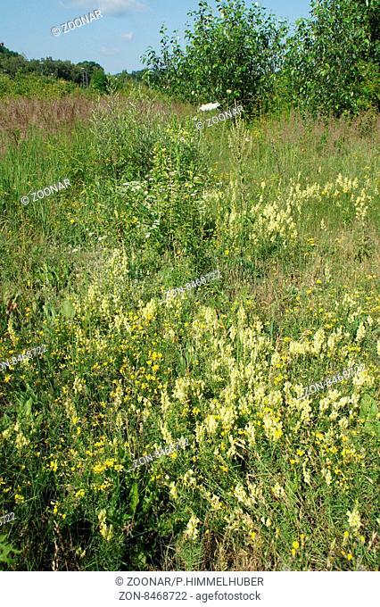 Linaria vulgaris, Gemeines Leinkraut, Common toadflax
