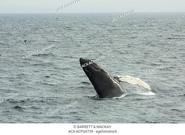 Humpback Whale, (Megaptera novaeangliae), breaching, Witless Bay Ecological Reserve, Newfoundland, Canada
