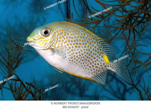 Orange-spotted spinefoot (Siganus guttatus), Palawan, Mimaropa, Sulu lake, Pacific Ocean, Philippines