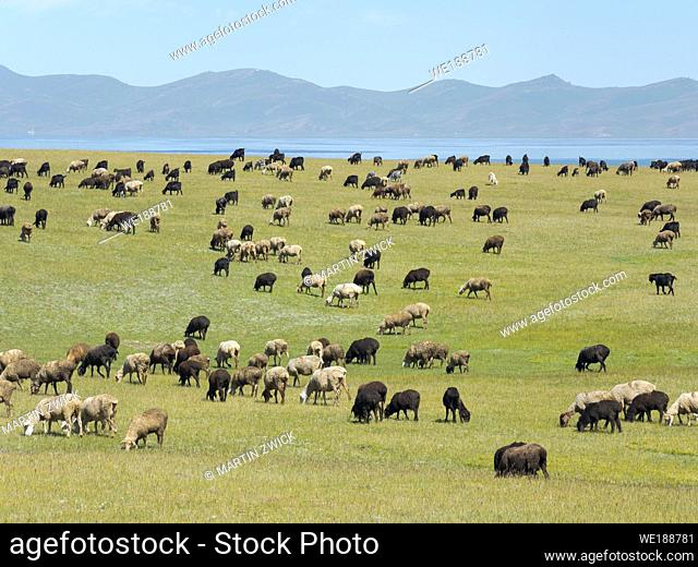 Sheep on their mountain pasture at lake Song Kol (Son Kul, Songkoel, Song-Koel). Tien Shan mountains or heavenly mountains in Kirghizia