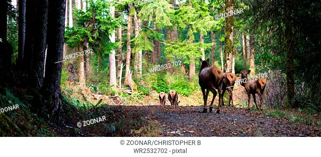 Animal Elk Herd Walking Away Oregon Woods Northwest Forest Wildlife