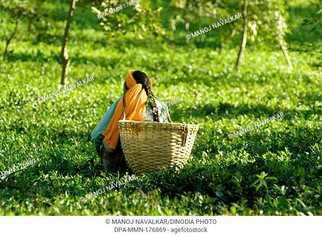 Woman plucking leaves from tea garden at palanpur ; Himachal Pradesh ; India NOMR