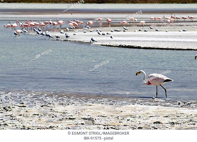 James flamingo (lat.: phoenicoparrus jamesi) at Laguna Onda, Bolivia
