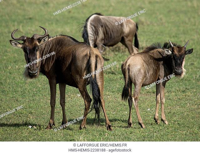 Kenya, Rift Valley Province, Maasai Mara, black wildebeests (connochaetes gnou)