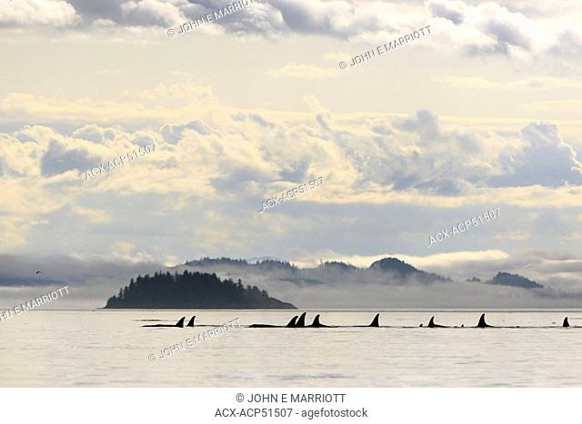 Killer whale Orcinus orca, commonly referred to as the orca whale or orca pod in Johnstone Strait, BC, Canada