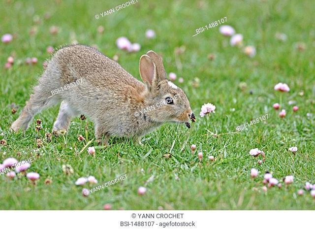 Young European rabbit, Shetland Islands, Scotland. Oryctolagus cuniculus  Rabbit  Leporid  Mammal