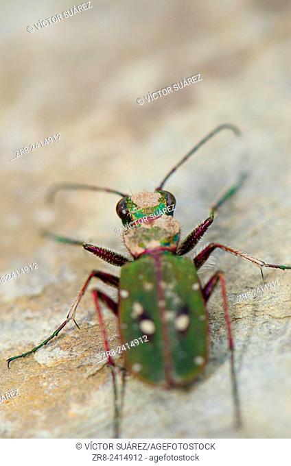 Common tiger beetle (Cicindela maroccana). Monfragüe National Park. Cáceres. Extremadura. Spain