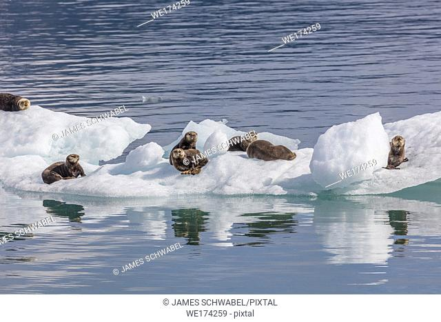 Sea Otters on icebergs from Columbia Glacier in Prince William Sound near Valdez Alaska