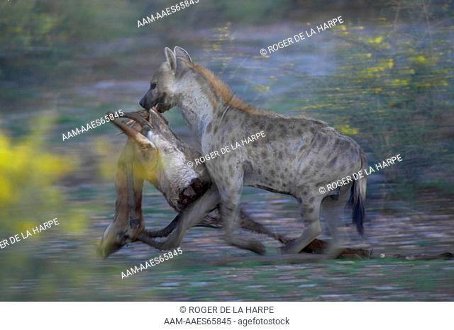 Spotted Hyaena (Crocuta crocuta) carrying an Impala (Aepyceros melampus melampus) it has killed. Mashatu Game Reserve. Northern Tuli Game Reserve