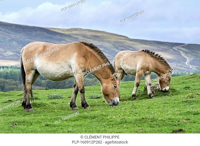 Two Przewalski horses (Equus ferus przewalskii) native to the steppes of Mongolia, central Asia grazing in grassland