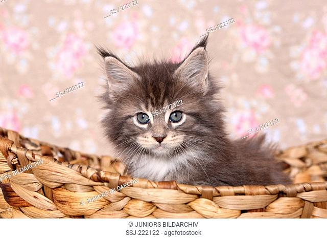 American Longhair, Maine Coon. Kitten (6 weeks old) sitting a basket. Studio picture against a floral design wallpaper