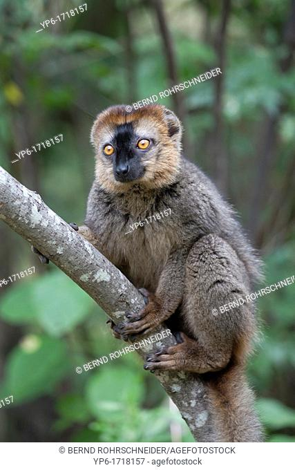 Red-fronted Brown Lemur Eulemur rufifrons sitting in tree, Isalo National Park, Madagascar