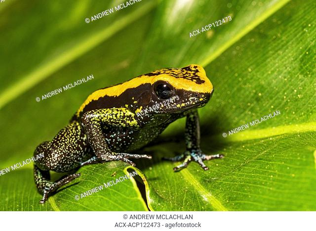 Kokoe Poison Frog (Phyllobates aurotaenia) - captive. Endemic to Central and South America