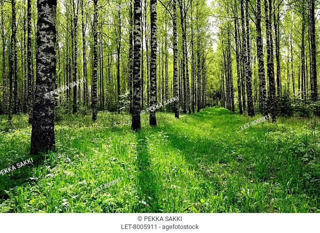 A path in a birch grove in Nurmijärvi, southern Finland