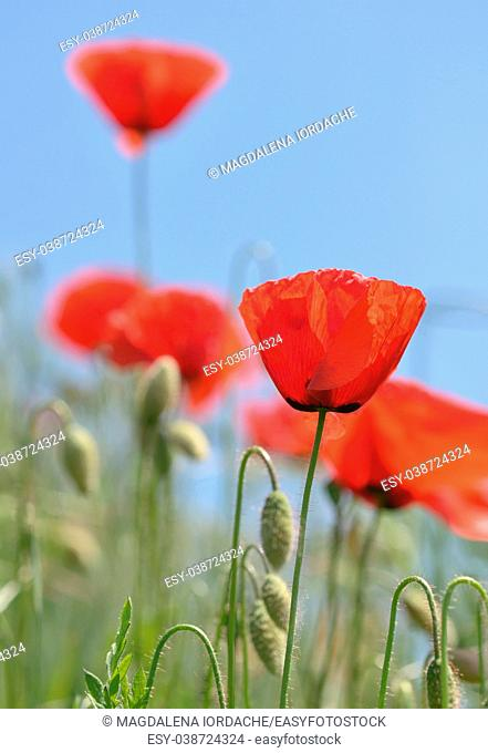 Red poppy blooming on summer field