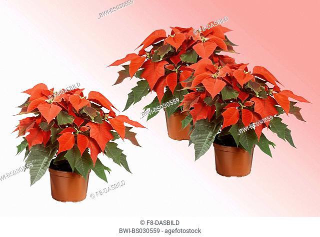 poinsettia (Euphorbia pulcherrima), in pot