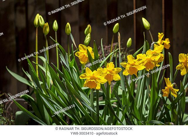 Daffodils in a garden, Iceland