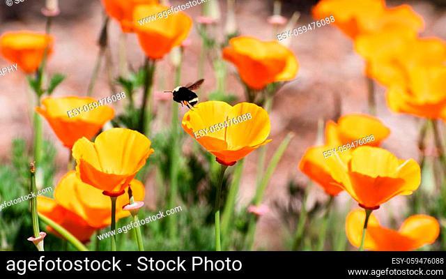 Close up of California Poppies (Eschscholzia californica) growing on a meadow, San Jose, south San Francisco bay, California