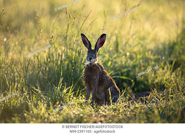 Hare (Lepus capensis), wet from dew in meadow, Bavaria, Germany