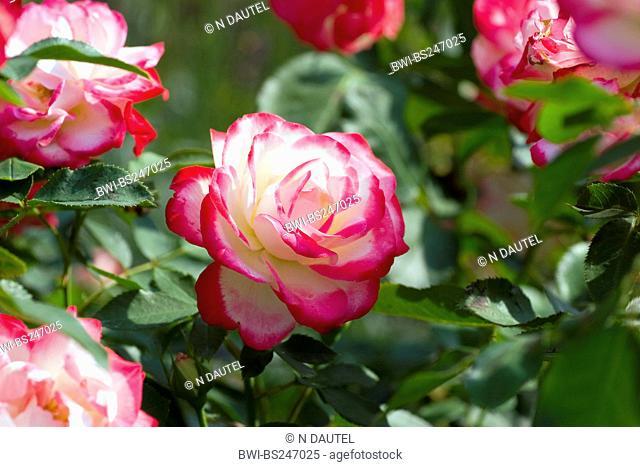 ornamental rose Rosa 'Jubile de prince de Monaco', Rosa Jubile de prince de Monaco, cultivar Jubile de prince de Monaco