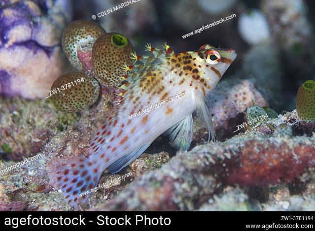 Dwarf Hawkfish (Cirrhitichthys falco), Kalig Barat dive site, near Wayilbatan Island, Raja Ampat, West Papua, Indonesia