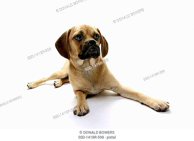 Puggle puppy resting