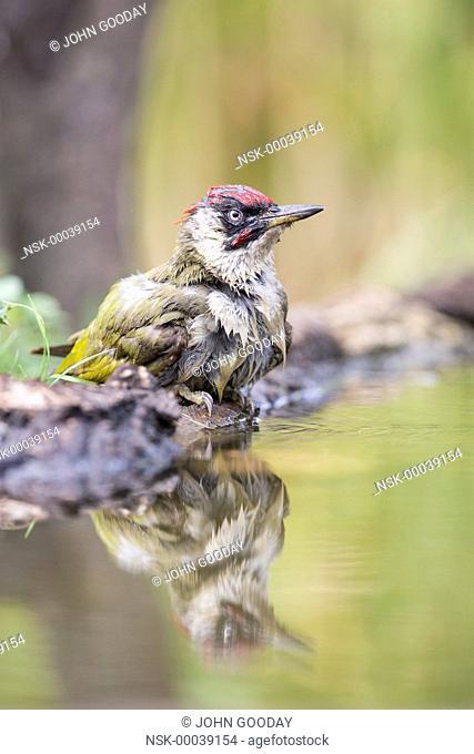 European Green Woodpecker (Picus viridis) beside a pool after bathing, Hungary, Bekes, Koros-Maros National Park