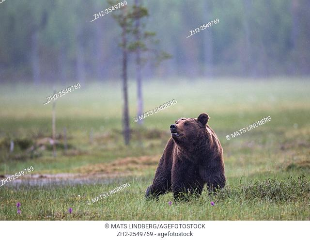 Brown bear, Ursus arctos walking on a moss and sniffing in the air, Kuhmo, Finland