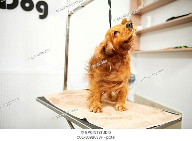 Cocker spaniel shaking wet fur on table at dog grooming salon