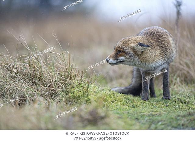 Red Fox / Rotfuchs ( Vulpes vulpes ), adult, watching biding, laying back its ears, irritated, typical behaviour, rainy day