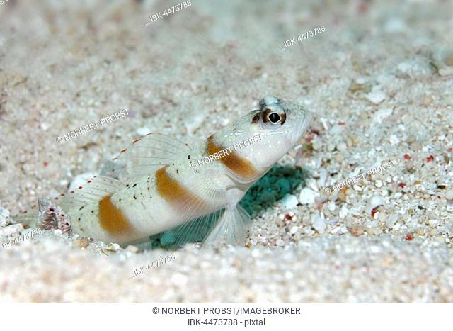 Masked shrimpgoby (Amblyeleotris gymnocephala) in front of sand burrow, Saparua, Maluku Islands, Banda Sea, Pacific Ocean, Indonesia