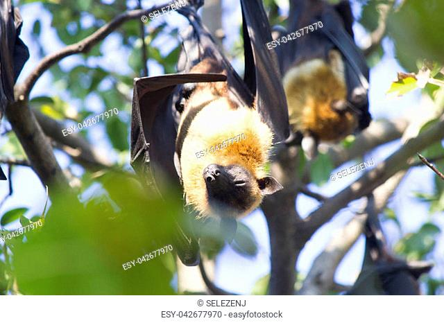 The terrible flying fox hangs headfirst and sleeps