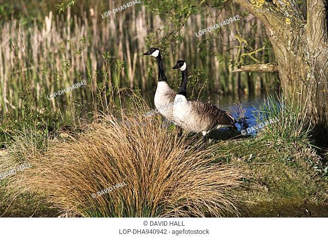England, Wiltshire, Brinkworth, Canada Geese branta canadensis