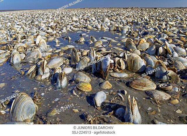 Intertidal mollusk bed mainly with shells of Soft-shell Clams (Mya arenatia). Schleswig-Holstein Wadden Sea National Park, Schleswig-Holstein, Germany