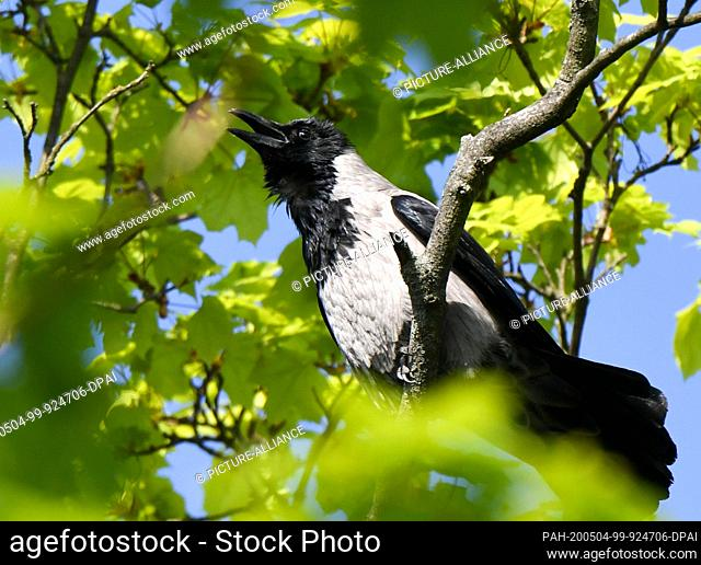 28 April 2020, Berlin: A grey-black hooded crow, which belongs to the family of raven birds (Corvidae), sits in a maple tree