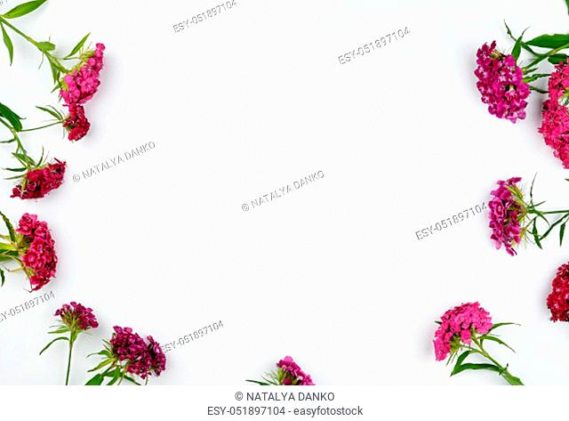 Buds blooming Turkish carnations Dianthus barbatus on a white background, flat lay, copy space
