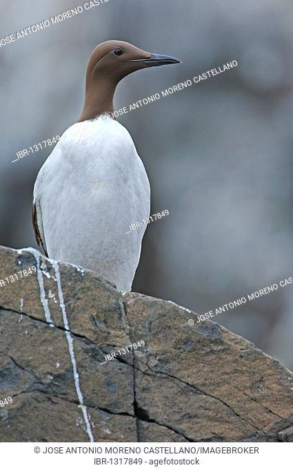 Common Murre or Common Guillemot (Uria aalge)