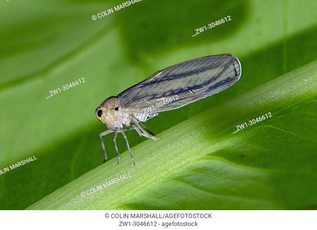 Leafhopper (Hemiptera order, Cicadellidae Family), Klungkung, Bali, Indonesia