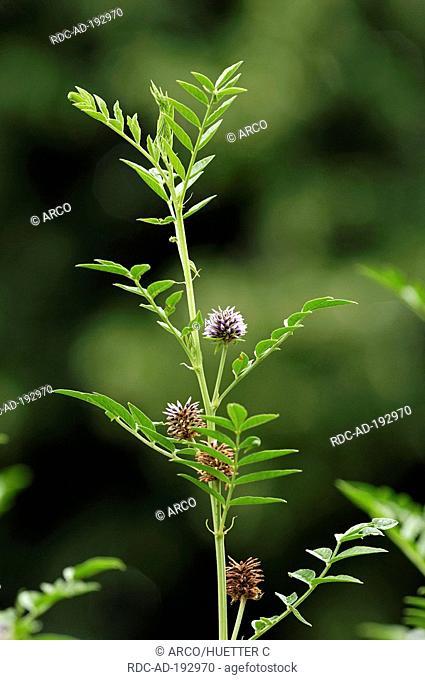 Common Liquorice, Glycyrrhiza glabra