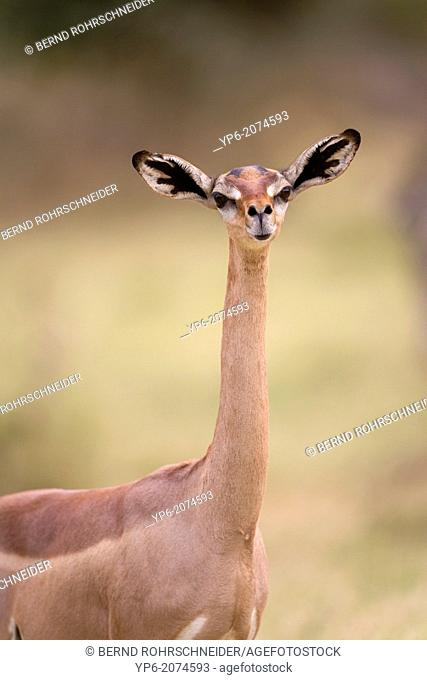 portrait of a female Gerenuk (Litocranius walleri), Samburu National Reserve, Kenya