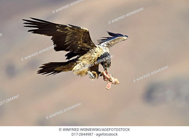 Immature bearded vulture in flight (Gypaetus barbatus) with a bone