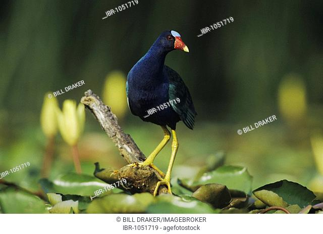 Purple Gallinule (Porphyrula martinica), adult perched among Yellow Waterlilies (Nymphaea mexicana), Sinton, Texas, USA