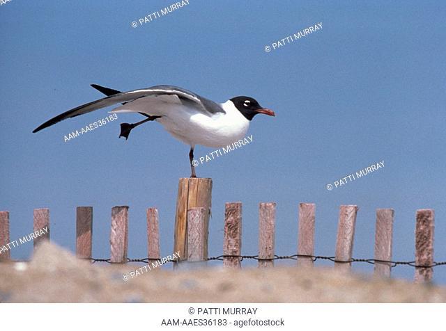 Laughing Gull Stretching (Larus atricilla) Breeding plummage Chincoteague WR, VA Chincoteague WR, VA