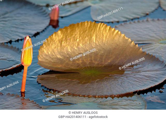 Red Indian water lily ( Nymphaea pubescens) - Closed flower - Thailand