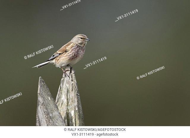 Common Linnet / Bluthänfling ( Carduelis cannabina ), male bird in breeding dress, perched exposed on a wooden stake. .