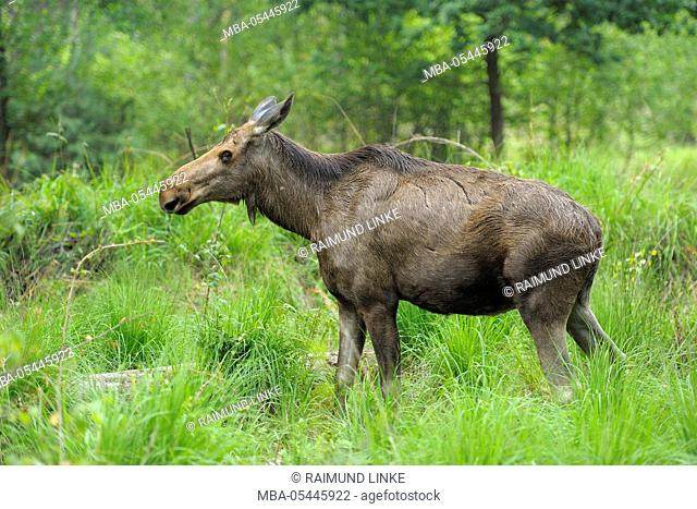 Moose, Elk, Alces alces, Cow in Forest, Germany