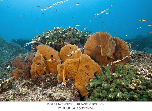 Seafan in Coral Reef, Cabo Pulmo, Baja California Sur, Mexico