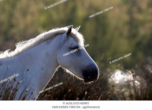 France, Camargue, Camargue horse (Equus caballus), portrait