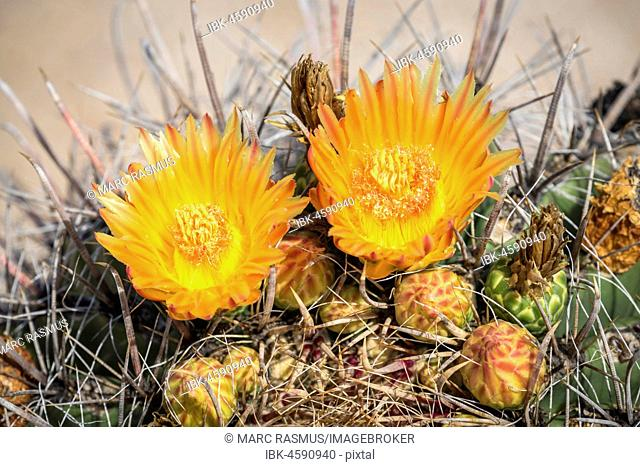 Orange flowering Fishhook Barrel Cactus (Ferocactus wislizeni), Tucson, Arizona, USA